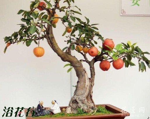 冬红果盆景栽培造型技术