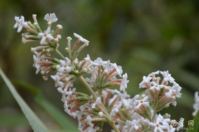 药材基源:为马钱科植物密蒙花的干燥花或花蕾