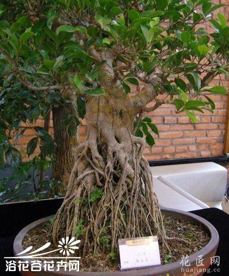 关于如何促进榕树盆景生根的探讨