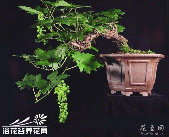 如何制作葡萄树盆景