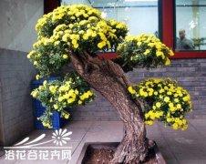 附木小菊盆景的枯桩选制