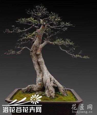 大干扦插速成榆树盆景桩景