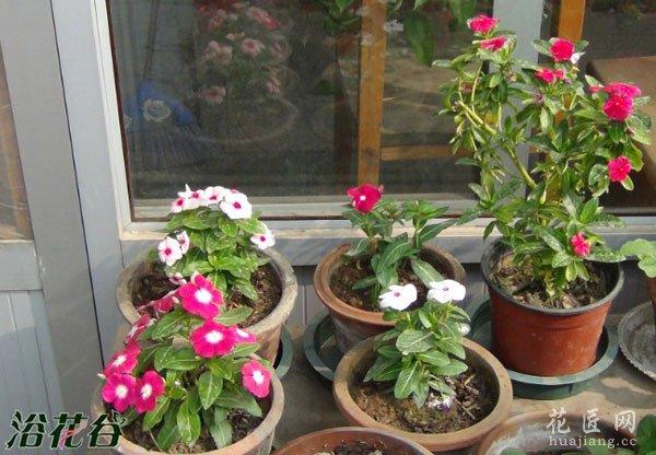 长春花如何播种