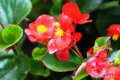 花中神仙是什么花