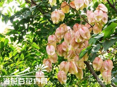 栾树通常被叫灯笼树,摇钱树