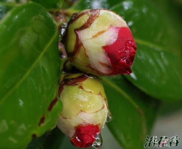 茶花疏蕾技巧