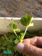 天竺葵的繁殖方法