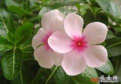 长春花(四季梅)的养殖方法