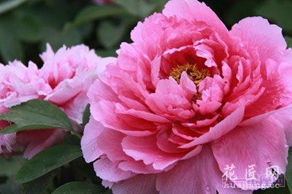 推荐几种代表高贵的花?