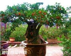 盆栽桂花不易开花是什么原因,如何解决?
