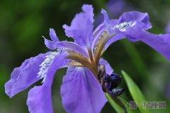法国的国花是什么花?鸢尾花