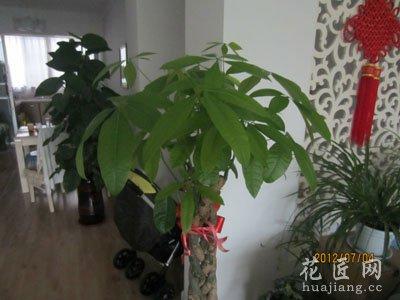 发财树的修剪方法(图)