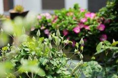 铁线莲夏季种植方法