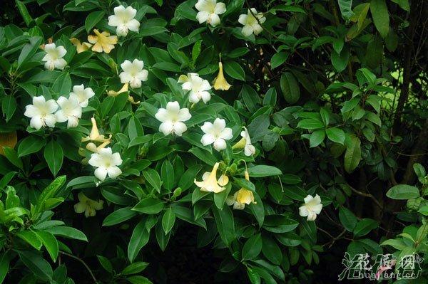 非洲茉莉什么时候开花