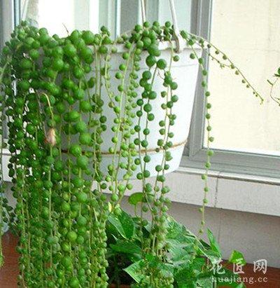 珍珠吊兰的繁殖方式