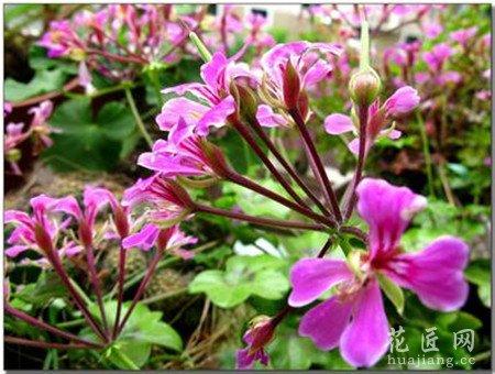 蔓性天竺葵