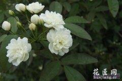 罗马尼亚国花--白蔷薇