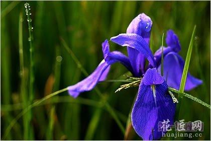 5月12日龙都娱乐:鸢尾花,生日龙都娱乐优美