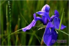 5月12日花语:鸢尾花,生日花语优美
