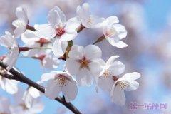 日本的国花是什么花?樱花