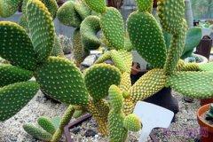 墨西哥的国花是什么花?