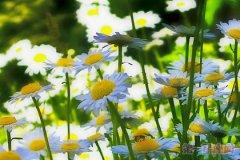 意大利的国花是什么花—雏菊