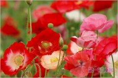 5月17日花语:角罂粟花,生日花语自然