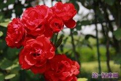 红色月季龙都娱乐:是纯洁的爱吗?
