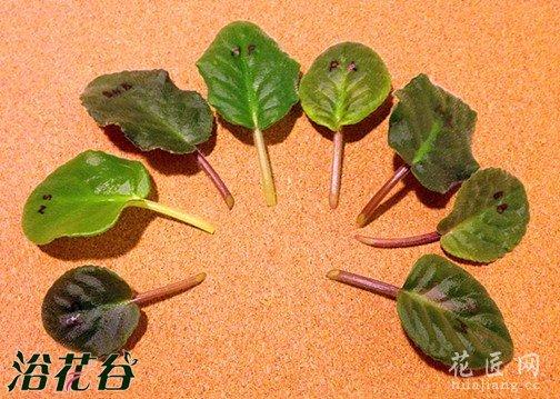丽格海棠扦插之叶片和枝条扦插
