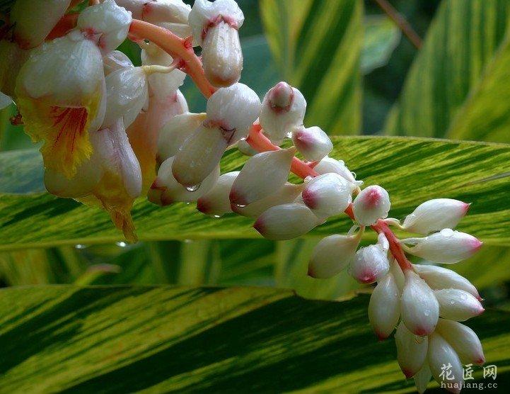 爪哇白豆蔻为浅根系植物