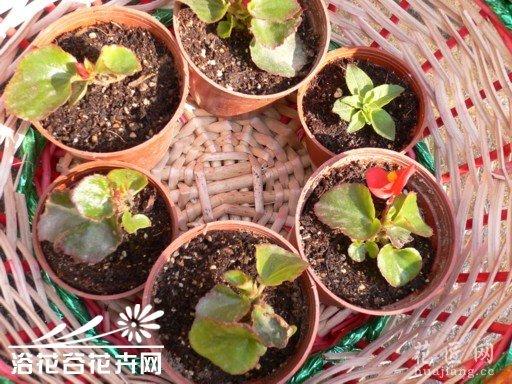 四季海棠繁殖方法
