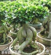 榕树苗木繁育新技术
