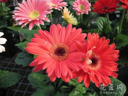 雏菊的种植方法详解