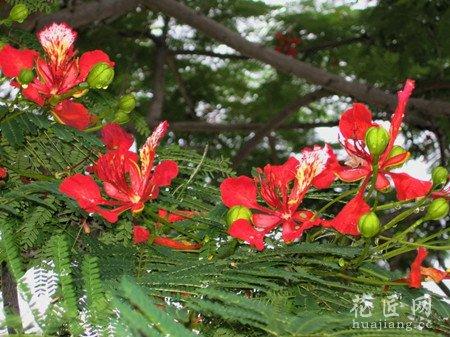 凤凰花,凤凰木