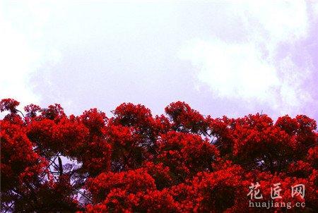 凤凰花,种植