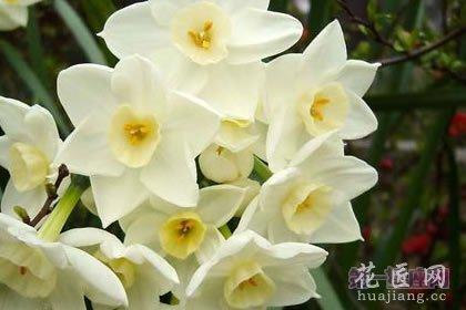 3月7日龙都娱乐:野生水仙花,生日龙都娱乐名誉