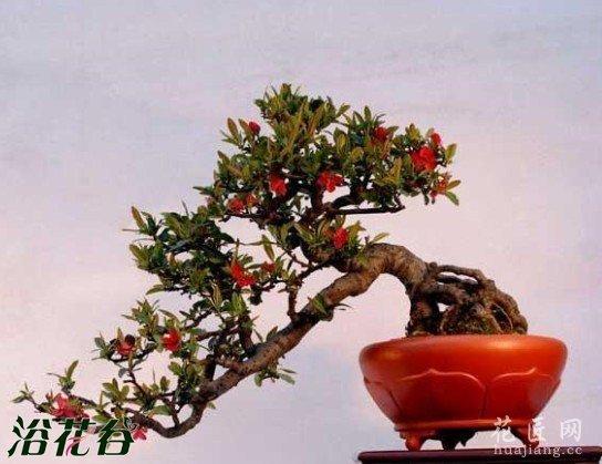 八种观赏枣盆景