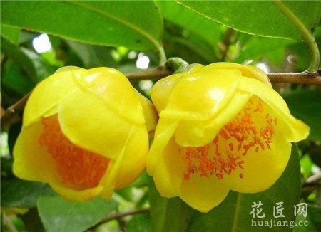 山茶花的栽培方式,山茶花