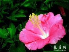 扶桑花的病虫害及其防治