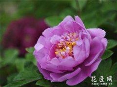 牡丹花的繁殖方法有哪些?