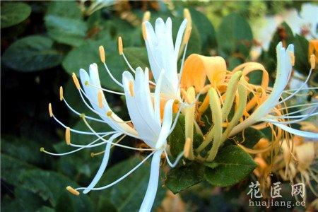 金银花的栽培技术