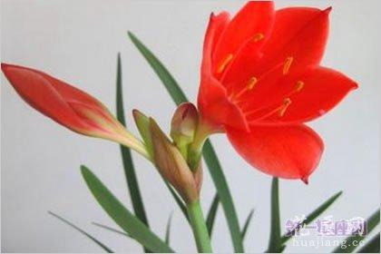 4月9日龙都娱乐:红水仙,生日龙都娱乐悔改