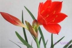4月9日花:红水仙花语及其传说故事