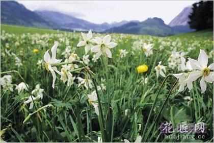 3月6日龙都娱乐:野生水仙花,生日龙都娱乐崇拜