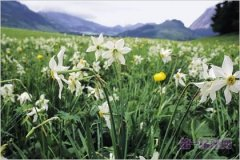 3月6日生日花:野生水仙花 崇拜之意