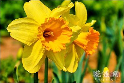 2月9生日花:黄水仙,生日龙都娱乐敬爱