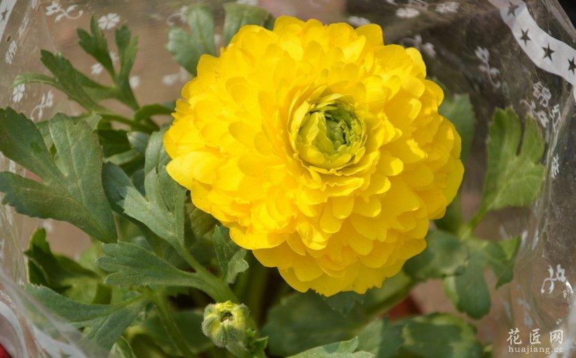 花毛茛的种植方法图片