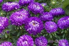 8月11日生日花:翠菊