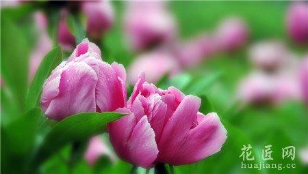 芍药,开花,影响