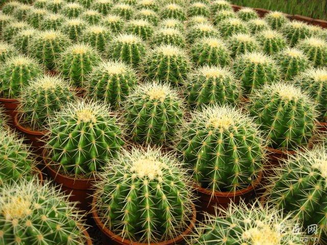 花卉种植养好金琥球的要点介绍